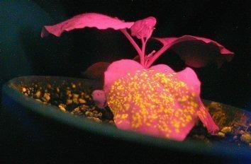 Image of fluorscent transgenic flower