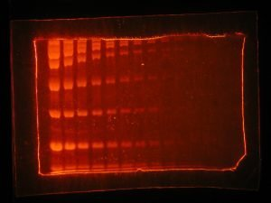 Image of protein gel stained with SYPRO Ruby