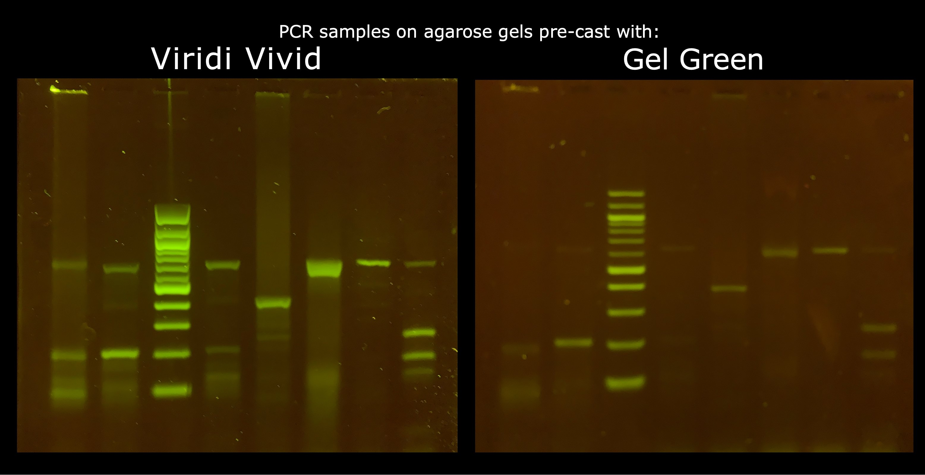 Image of a DNA gel stained with Viridi DNA stain