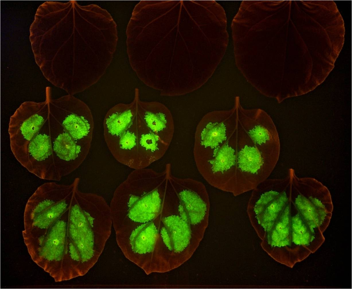 Image of leaves that fluoresce with GFP