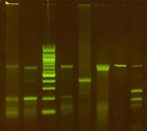 Image of DNA gel stained with Viridi vivid stain